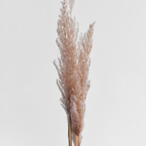 Eryanthus/ Zebragræs Rosa