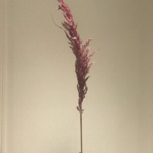 Eryanthus rosa shopbilede