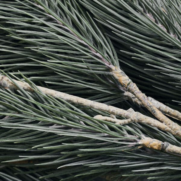 Nærbillede 2 af pine tree