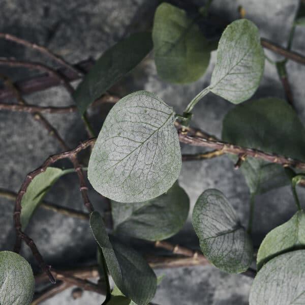 Nærbillede af gren eucalyptus