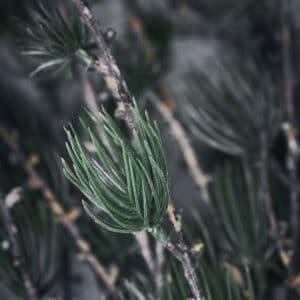 Nærbillede af gren med gran 2