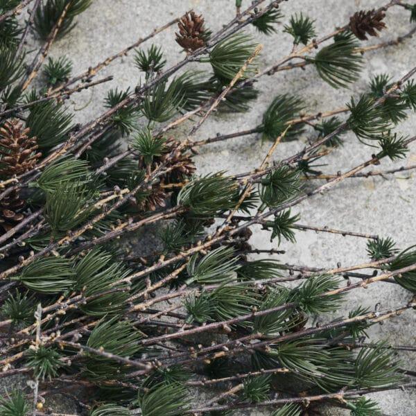 Nærbillede af gren med kogler