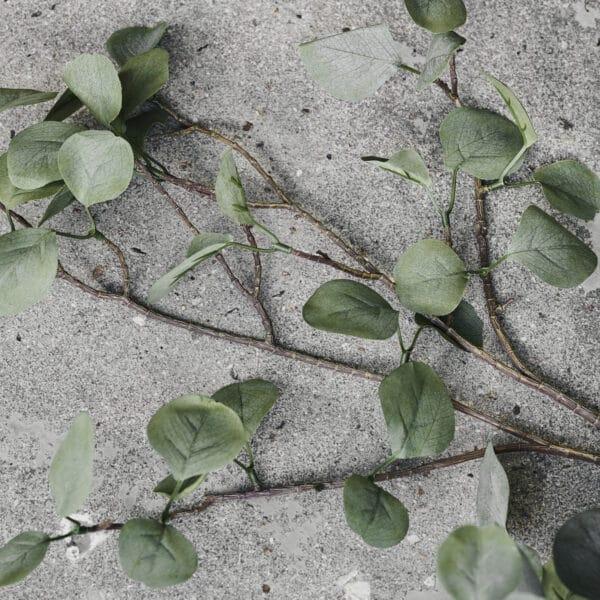 Nærbillede gren eucalyptus